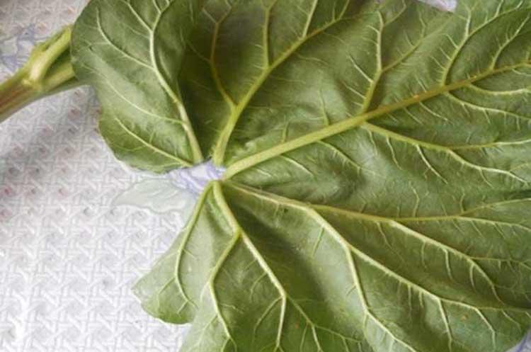 Применение листьев ревеня в народной медицине
