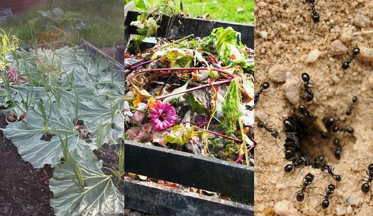 Полезное применение листьев ревеня в огороде и дачном быту