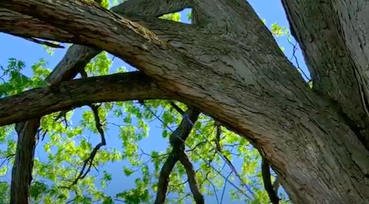 Пила-цепочка для обрезки высоких деревьев
