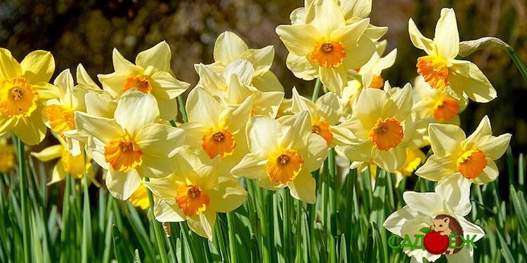 Почему не цветут нарциссы весной в открытом грунте и что делать?
