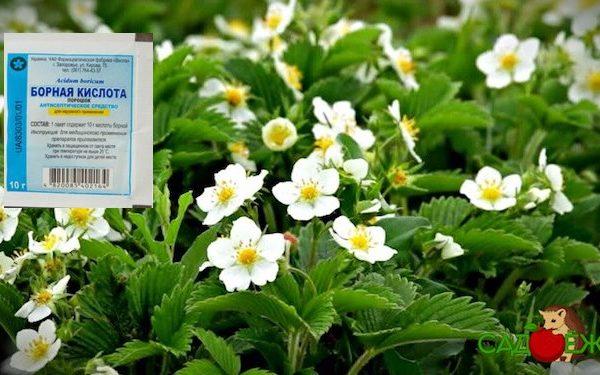 Подкормка клубники борной кислотой весной во время цветения и завязывания: рецепт и пропорции