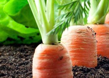 Как посадить морковь, чтобы потом ее не пришлось прореживать?