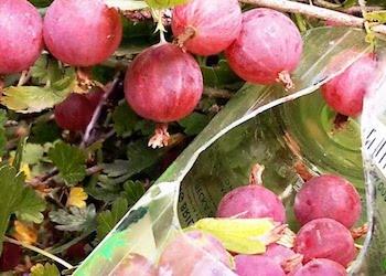 Как сделать простое приспособление для сбора ягод и фруктов своими руками?