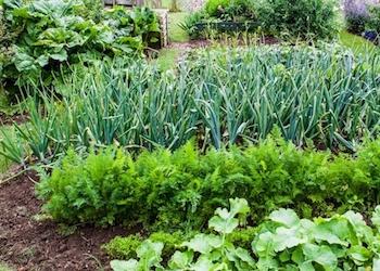 Правила совместных посадок овощей в огороде
