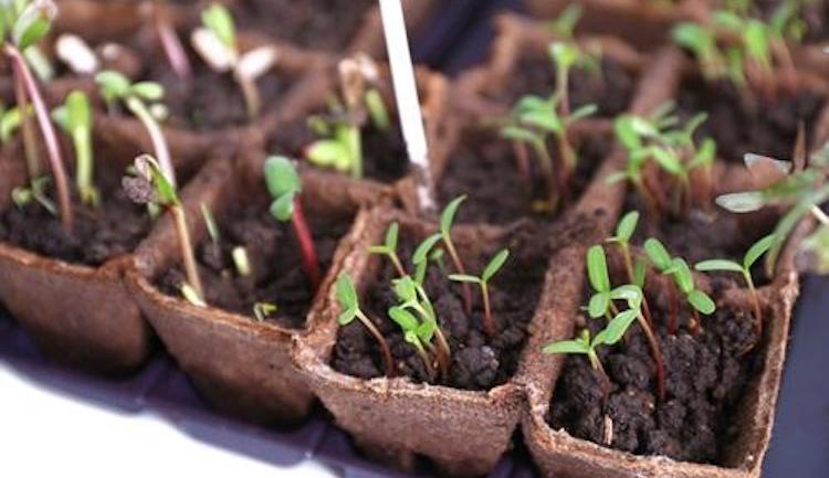 Выращивание рассады свеклы