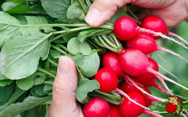 Ботва редиса: польза, лечебные свойства и противопоказания
