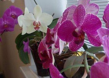 Подкормка орхидеи чесноком с янтарной кислотой