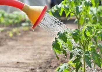 Как правильно поливать помидоры в теплице и в открытом грунте?