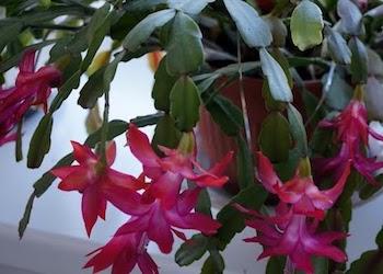 Почему не цветет декабрист и как заставить его цвести?