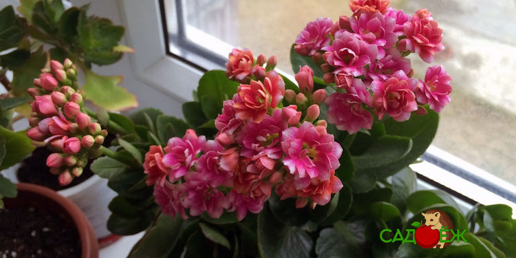 Почему не цветет каланхоэ в домашних условиях и что делать, чтобы он зацвел?