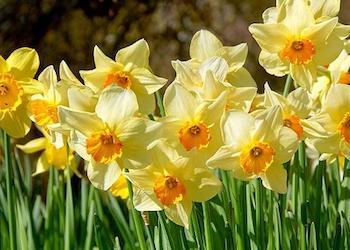 Почему не цветут нарциссы и как заставить их цвести?