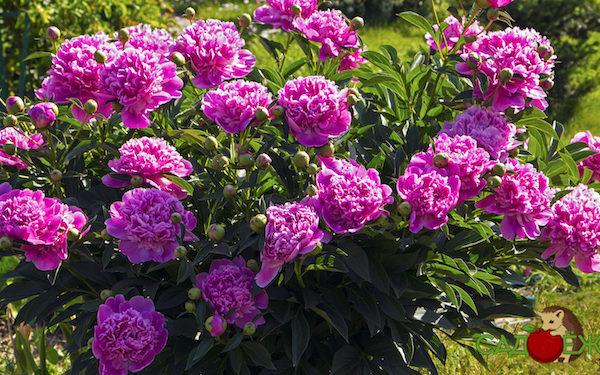 Почему не цветут пионы, а дают только листья и что сделать, чтобы пионы цвели?