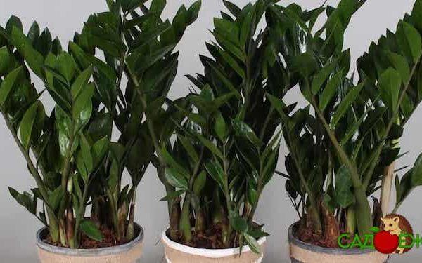 Почему не растет замиокулькас в домашних условиях и не дает новые побеги?