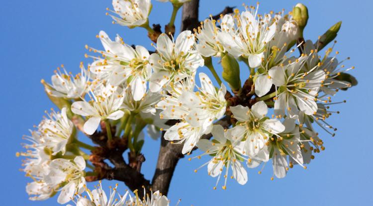 Цветение терносливы