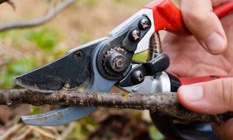 Как правильно обрезать кусты черной смородины осенью?