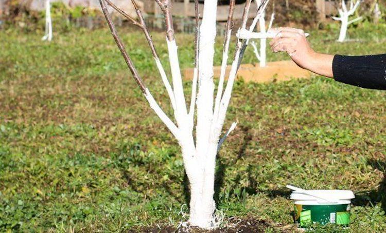 Нужно ли белить молодые саженцы плодовых деревьев?