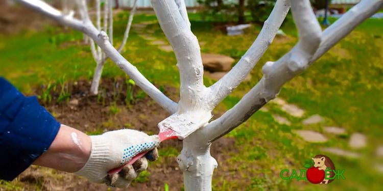 Нужно ли белить молодые плодовые деревья осенью и с какого возраста начинать побелку саженцев?