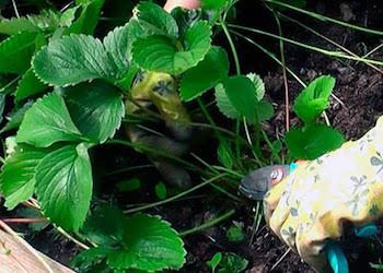 Обрезка клубники: весной или осенью?