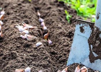 Какие удобрения вносить под посадку озимого чеснока осенью?