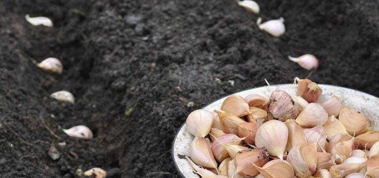 Когда сажать озимый чеснок осенью?