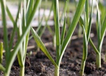 На какую грядку лучше всего посадить озимый чеснок?