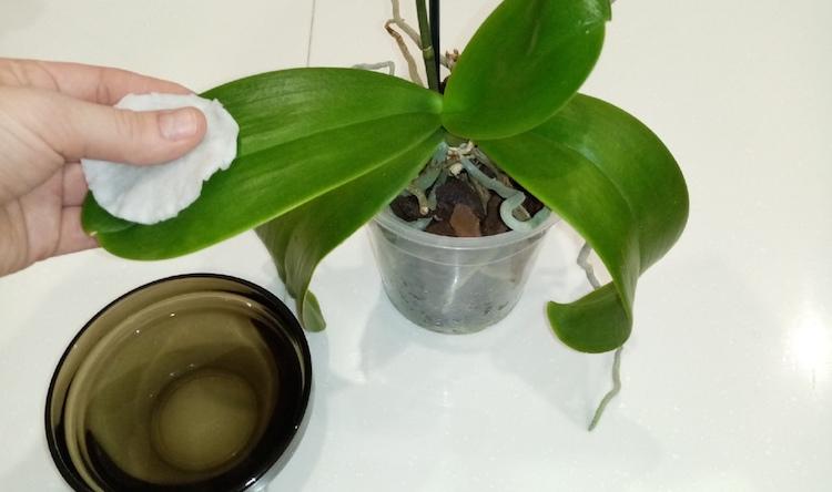 Чем протирать листья комнатных растений, чтобы те блестели?