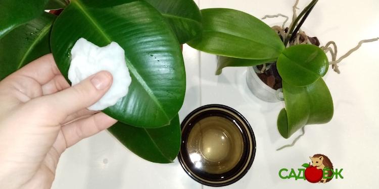 Чем протирать листья комнатных растений от пыли для блеска, красоты и здоровья цветов?