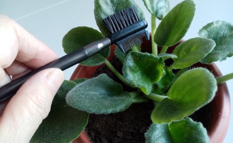 Как помыть листья фиалки от пыли?
