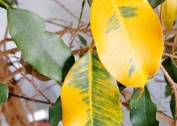 Почему желтеют и опадают листья фикуса?