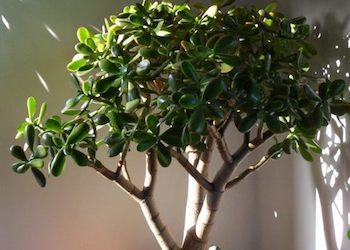 Какой уход не любит денежное дерево?