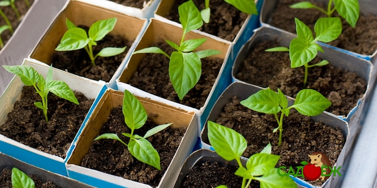 Когда сажать перец на рассаду в феврале и марте 2021 года?