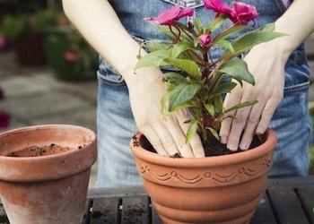 Можно ли пересаживать комнатные растения зимой?