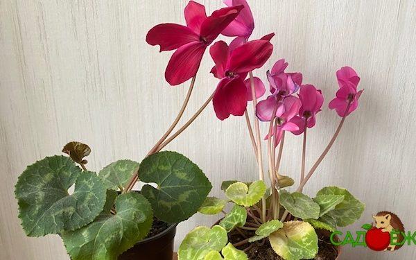 Почему не цветет цикламен в домашних условиях и что делать, чтобы заставить цвести цикламен?