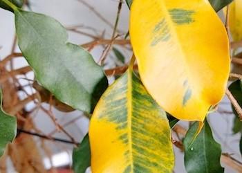 Почему у фикуса желтеют и опадают листья?