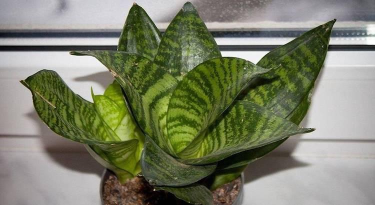 Почему желтеют и сохнут кончики листьев щучьего хвоста?