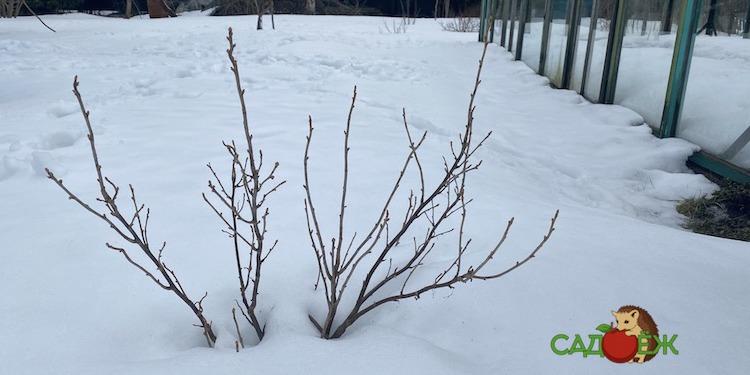 Когда поливать кусты смородины и крыжовника кипятком весной от вредителей?