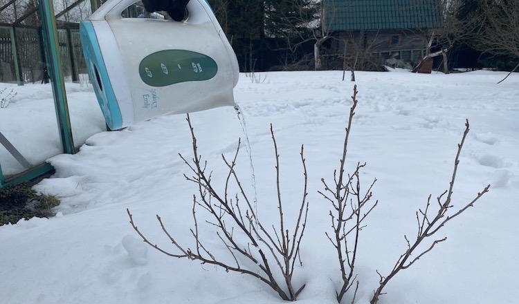 Обработка кустов смородины кипятком: как делать нельзя