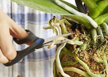 Как правильно пересадить орхидею в домашних условиях?