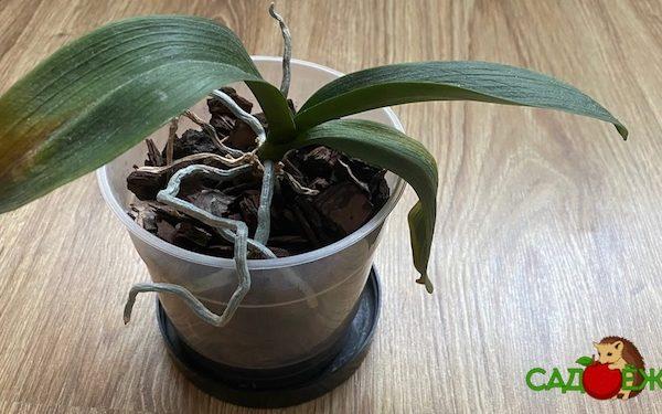Почему у орхидеи вялые и мягкие листья: что делать и как реанимировать орхидею?