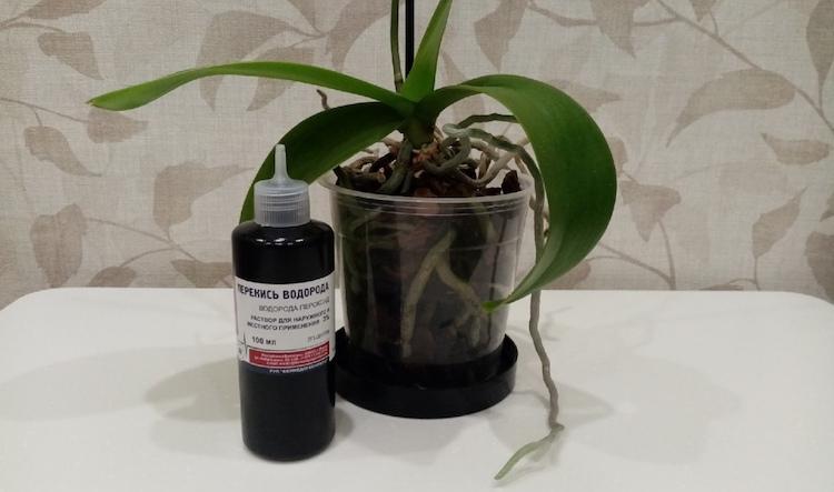 Полив орхидеи перекисью водорода