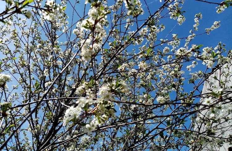 Чем опрыскать вишню весной во время цветения?
