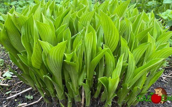 Чем подкормить хосту весной для пышного роста: удобрения для хосты весной