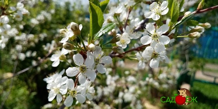 Чем подкормить и опрыскать вишню весной во время цветения?