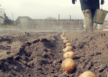Что класть в лунку при посадке картофеля?