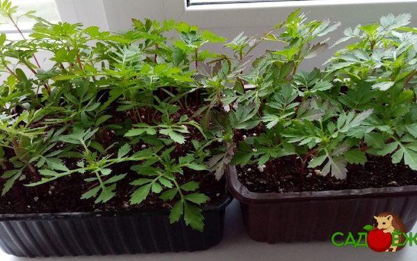 Когда можно высаживать рассаду бархатцев в открытый грунт весной: сроки и особенности посадки