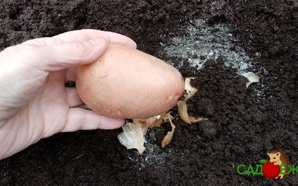 Зола в лунку при посадке картофеля весной: нужна ли, можно ли добавлять и сколько?