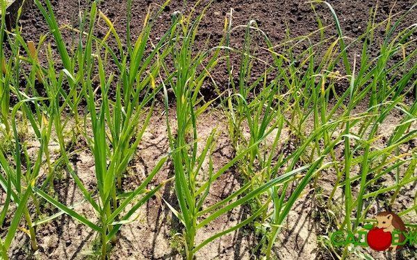 Чем лучше подкормить яровой и зимний чеснок летом в июне чтобы был крупный: удобрения и народные средства