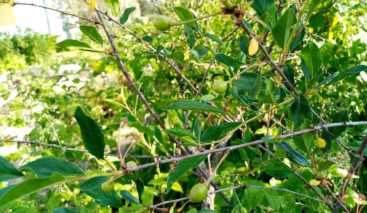 Чем опрыскать вишню после цветения во время завязывания плодов?