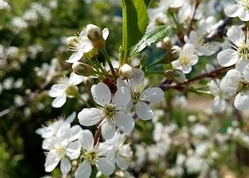 Чем подкормить и опрыскать вишню во время цветения?