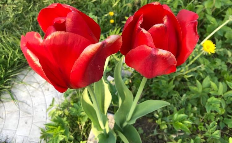 Что делать с тюльпанами после цветения в открытом грунте